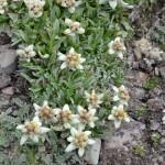Edelweiss!